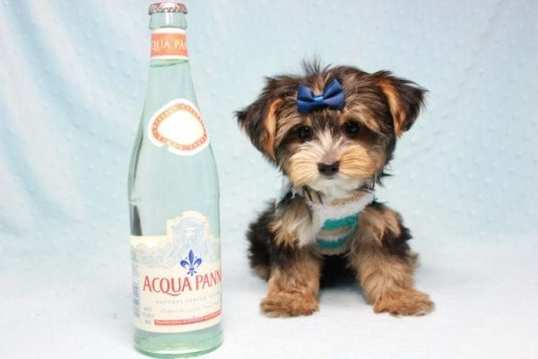 Donald Trump - Toy Yorkie Puppy found his loving home with Melissa in Malibu, CA-12750