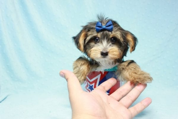 Donald Trump - Toy Yorkie Puppy found his loving home with Melissa in Malibu, CA-12753