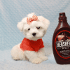 Elvis Presley - Teacup Maltese Puppy Has Found A Loving Home With Jon In Las Vegas,NV!-0