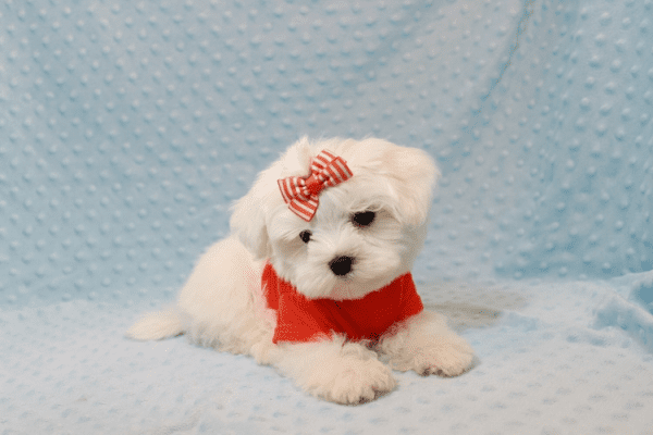 Elvis Presley - Teacup Maltese Puppy Has Found A Loving Home With Jon In Las Vegas,NV!-12679