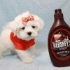 Elvis Presley - Teacup Maltese Puppy Has Found A Loving Home With Jon In Las Vegas,NV!-12673