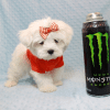 Elvis Presley - Teacup Maltese Puppy Has Found A Loving Home With Jon In Las Vegas,NV!-12678