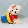 Elvis Presley - Teacup Maltese Puppy Has Found A Loving Home With Jon In Las Vegas,NV!-12680