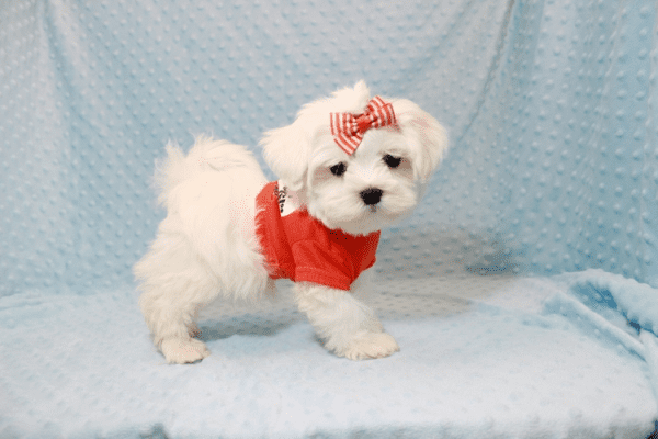 Elvis Presley - Teacup Maltese Puppy Has Found A Loving Home With Jon In Las Vegas,NV!-12676
