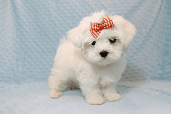Elvis Presley - Teacup Maltese Puppy Has Found A Loving Home With Jon In Las Vegas,NV!-12677