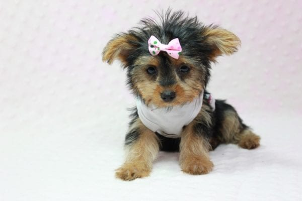 Hillary Clinton - Teacup Yorkie Puppy found her loving home in Northridge, CA-12763