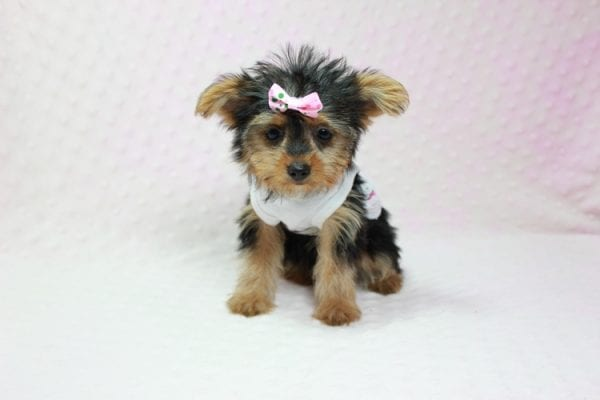 Hillary Clinton - Teacup Yorkie Puppy found her loving home in Northridge, CA-12765