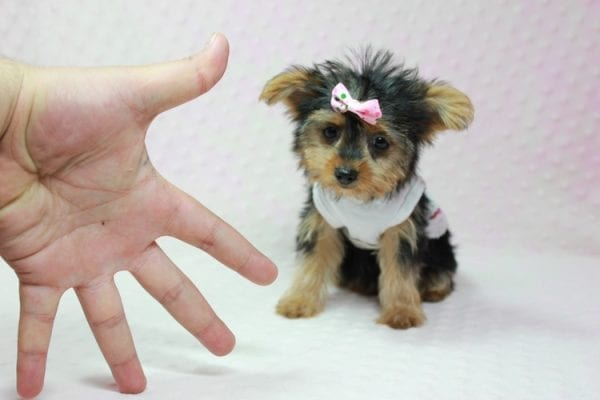 Hillary Clinton - Teacup Yorkie Puppy found her loving home in Northridge, CA-12766