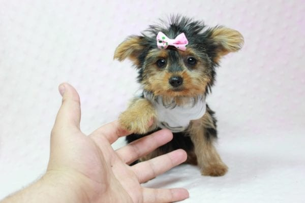 Hillary Clinton - Teacup Yorkie Puppy found her loving home in Northridge, CA-12762