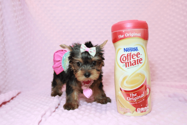 iCarly - Teacup Yorkie Puppy Has Found A Loving Home With Marissa in Canada!-12637