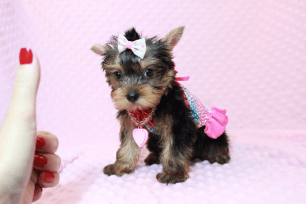 iCarly - Teacup Yorkie Puppy Has Found A Loving Home With Marissa in Canada!-0