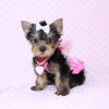 iCarly - Teacup Yorkie Puppy Has Found A Loving Home With Marissa in Canada!-12642