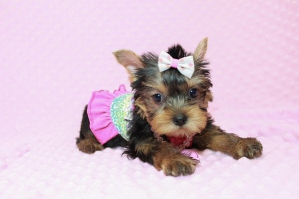 iCarly - Teacup Yorkie Puppy Has Found A Loving Home With Marissa in Canada!-12640
