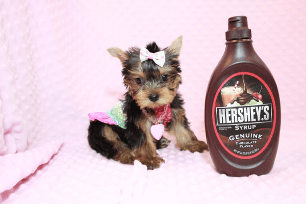 iCarly - Teacup Yorkie Puppy Has Found A Loving Home With Marissa in Canada!-12639
