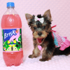 iCarly - Teacup Yorkie Puppy Has Found A Loving Home With Marissa in Canada!-12641
