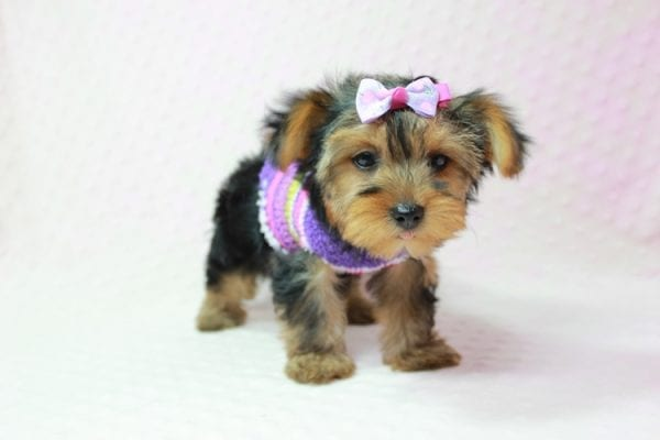 Ivana Trump - Small Yorkie Puppy found her loving home with Diana in Granada Hills, CA-12826