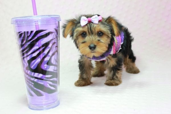 Ivana Trump - Small Yorkie Puppy found her loving home with Diana in Granada Hills, CA-12832