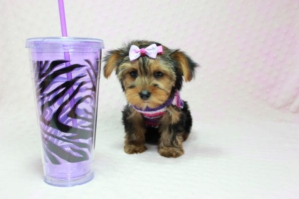 Ivana Trump - Small Yorkie Puppy found her loving home with Diana in Granada Hills, CA-0