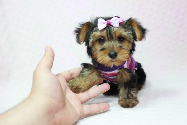 Ivana Trump - Small Yorkie Puppy found her loving home with Diana in Granada Hills, CA-12829