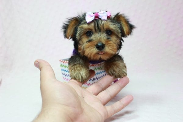 Ivana Trump - Small Yorkie Puppy found her loving home with Diana in Granada Hills, CA-12833