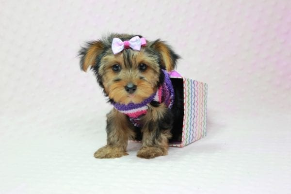 Ivana Trump - Small Yorkie Puppy found her loving home with Diana in Granada Hills, CA-12827