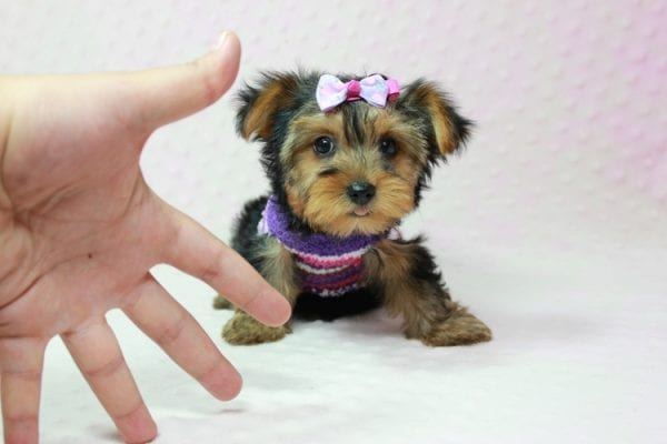 Ivana Trump - Small Yorkie Puppy found her loving home with Diana in Granada Hills, CA-12831
