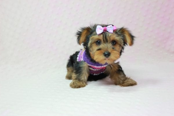 Ivana Trump - Small Yorkie Puppy found her loving home with Diana in Granada Hills, CA-12828