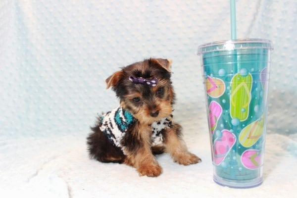 Jack - Teacup Yorkie Puppy Has Found A Loving Home With Virginia from Richmond, CA!-12771