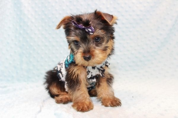 Jack - Teacup Yorkie Puppy Has Found A Loving Home With Virginia from Richmond, CA!-12770