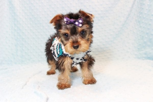 Jack - Teacup Yorkie Puppy Has Found A Loving Home With Virginia from Richmond, CA!-12769