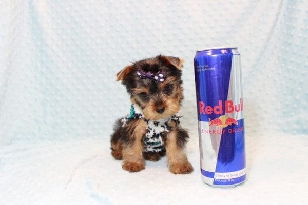 Jack - Teacup Yorkie Puppy Has Found A Loving Home With Virginia from Richmond, CA!-12767
