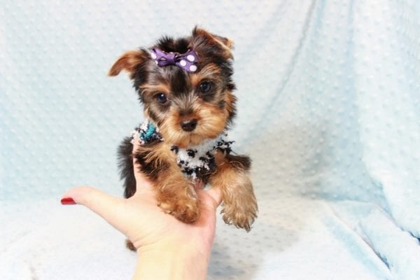 Jack - Teacup Yorkie Puppy Has Found A Loving Home With Virginia from Richmond, CA!-12772