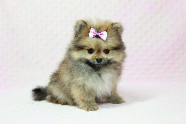 Khloe Kardashian - Micro Pomeranian Found her loving home with Krystal in Terra Cotta, ON-12854