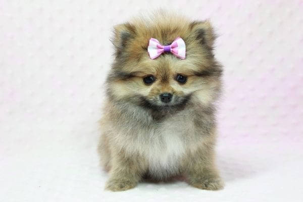 Khloe Kardashian - Micro Pomeranian Found her loving home with Krystal in Terra Cotta, ON-12858