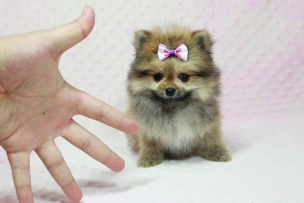 Khloe Kardashian - Micro Pomeranian Found her loving home with Krystal in Terra Cotta, ON-12856
