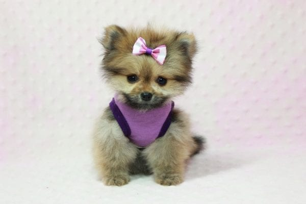 Khloe Kardashian - Micro Pomeranian Found her loving home with Krystal in Terra Cotta, ON-12857