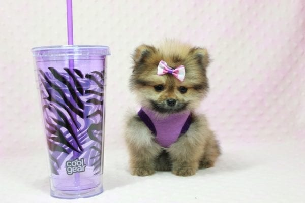 Khloe Kardashian - Micro Pomeranian Found her loving home with Krystal in Terra Cotta, ON-0