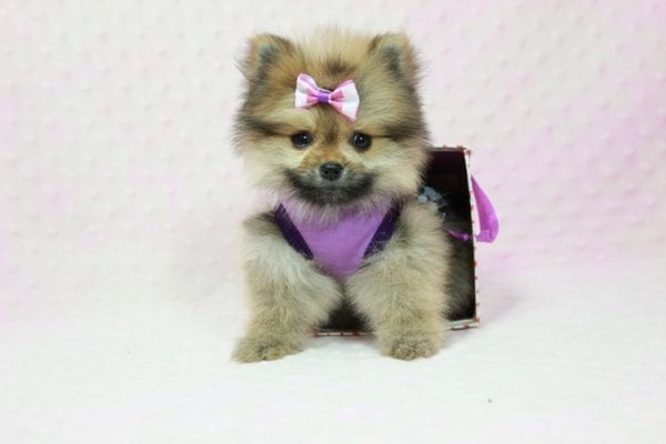 Khloe Kardashian - Micro Pomeranian Found her loving home with Krystal in Terra Cotta, ON-12853