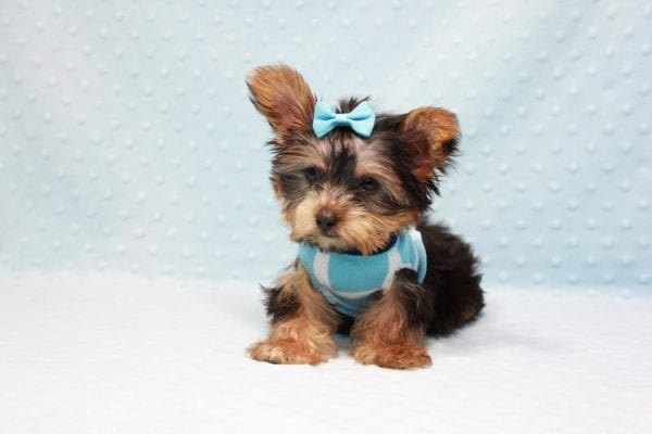 Kubo - Teacup Yorkie Puppy In L.A Found his loving home in Woodland Hills, CA-12839
