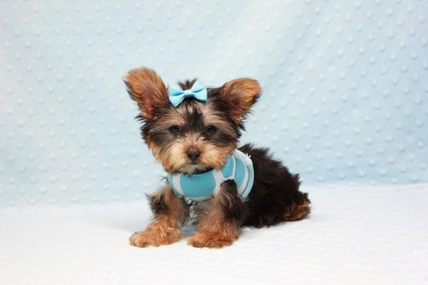 Kubo - Teacup Yorkie Puppy In L.A Found his loving home in Woodland Hills, CA-12838