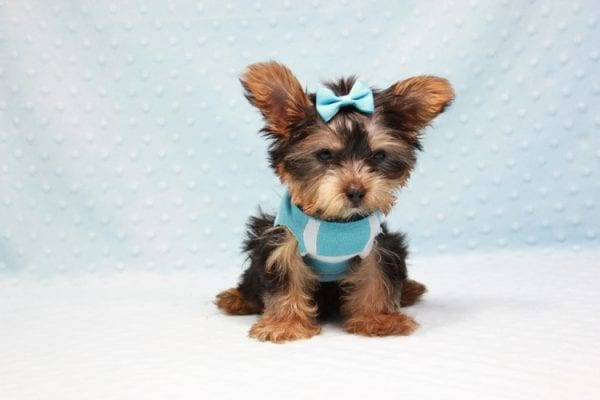 Kubo - Teacup Yorkie Puppy In L.A Found his loving home in Woodland Hills, CA-12835
