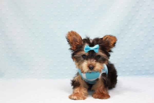 Kubo - Teacup Yorkie Puppy In L.A Found his loving home in Woodland Hills, CA-12836