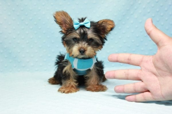 Kubo - Teacup Yorkie Puppy In L.A Found his loving home in Woodland Hills, CA-12837
