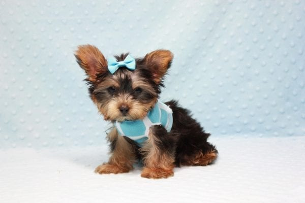 Kubo - Teacup Yorkie Puppy In L.A Found his loving home in Woodland Hills, CA-12834