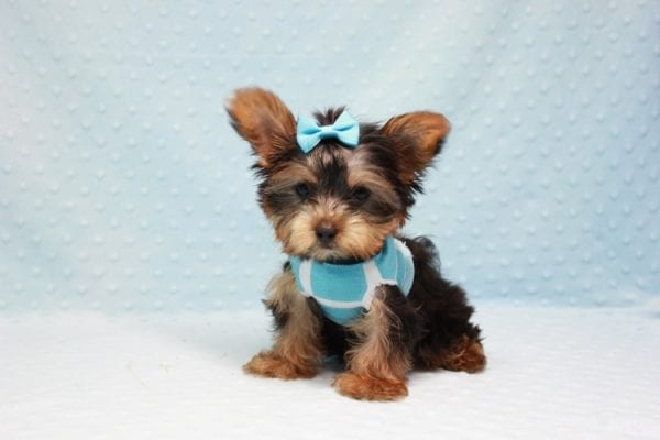 Kubo - Teacup Yorkie Puppy In L.A Found his loving home in Woodland Hills, CA-12843