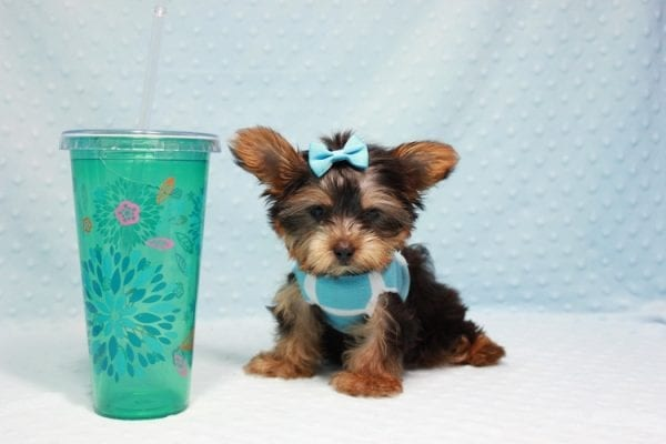 Kubo - Teacup Yorkie Puppy In L.A Found his loving home in Woodland Hills, CA-0
