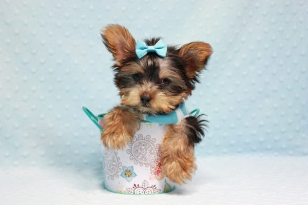 Kubo - Teacup Yorkie Puppy In L.A Found his loving home in Woodland Hills, CA-12840