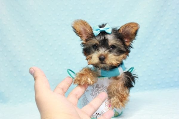 Kubo - Teacup Yorkie Puppy In L.A Found his loving home in Woodland Hills, CA-12842