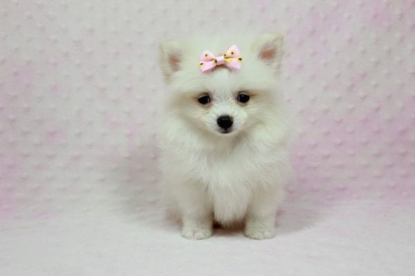 Kylie Jenner - Teacup Pomeranian Puppy in L.A Found A New Loving Home -12868