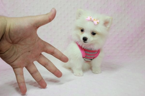 Kylie Jenner - Teacup Pomeranian Puppy in L.A Found A New Loving Home -12870
